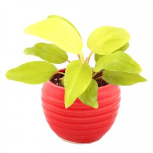 PHILODENDRON SPIRAL-RED