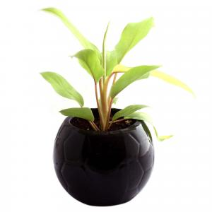 PHILODENDRON FOOTBALL-BLACK