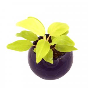 PHILODENDRON FOOTBALL-BLUE