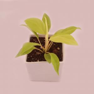 PHILODENDRON SQURE